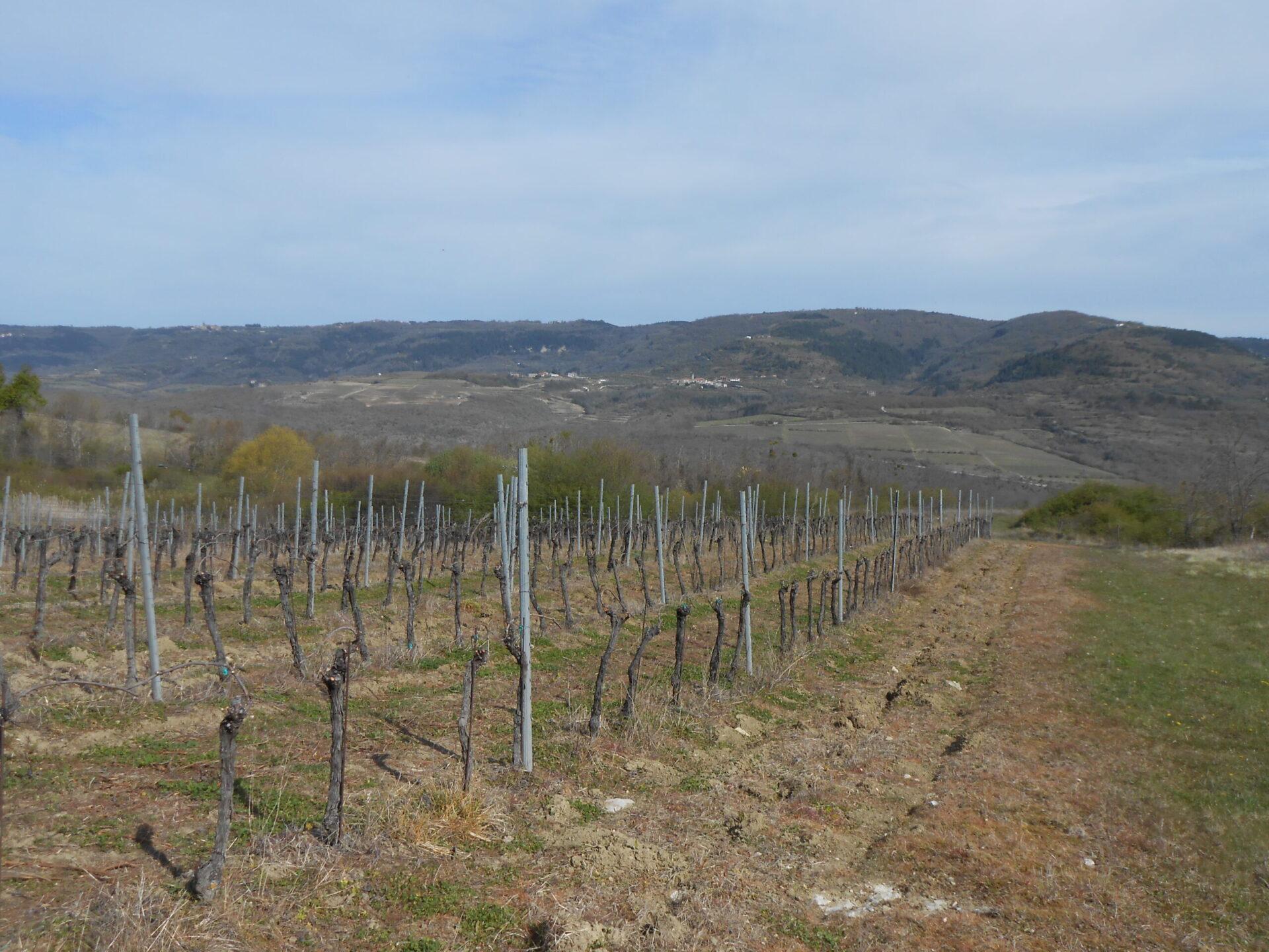 Vižinada - vinogradi